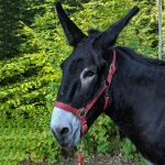 Picture of Asstro, our mammoth donkey