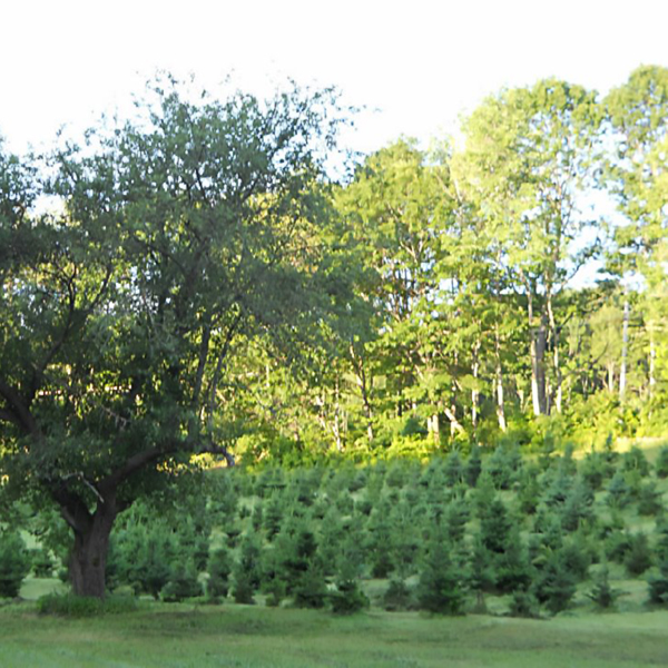 tuckaway tree farm summer trees